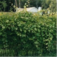 Виноград ароматный