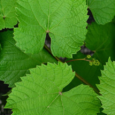 Виноград японский Грин Вондер