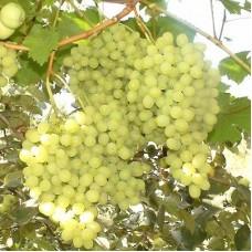 Виноград плодовый Алешенькин дар