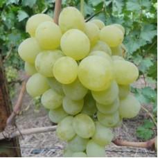 Виноград плодовый Антоний Великий