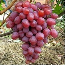Виноград плодовый Анюта