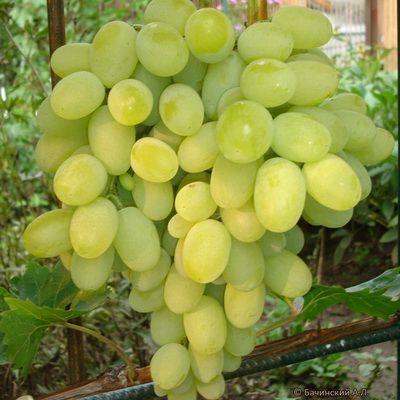 Виноград плодовый Августин