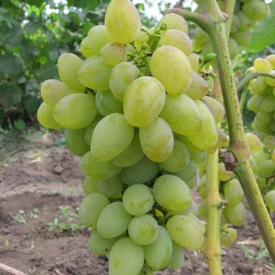 Виноград плодовый Баклановский