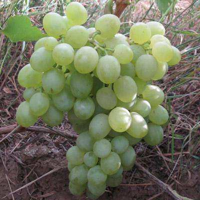 Виноград плодовый Белое Чудо купить.