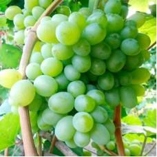 Виноград плодовый Боготяновский