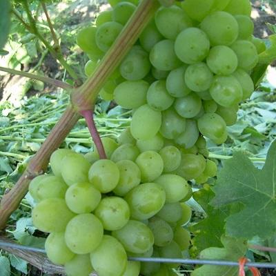 Виноград плодовый Гарольд купить.