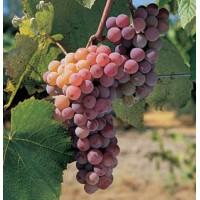 Виноград плодовый Канадис