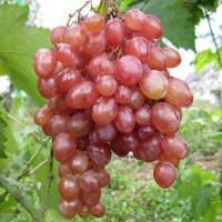 Виноград плодовый Кишмиш лучистый