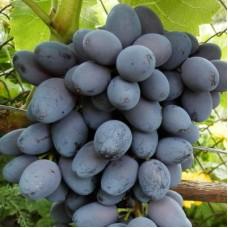 Виноград плодовый Кишмиш Юпитер
