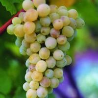 Виноград плодовый Кристалл