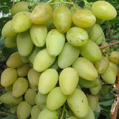 Виноград плодовый Мускат летний