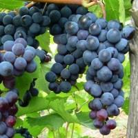 Виноград плодовый Надежда АЗОС