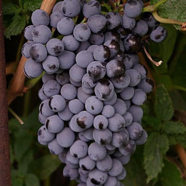 последнее виноград память домбров описание сорта фото отзывы чем становиться