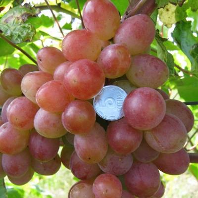 Виноград плодовый Памяти Хирурга