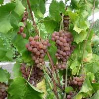 Виноград плодовый Платовский