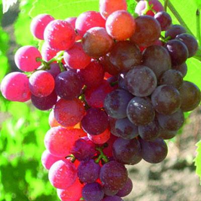 Виноград плодовый Рилайнс пинк сидлис