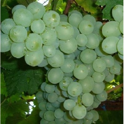 Виноград плодовый Талисман купить.