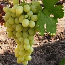 Виноград плодовый Ванюша