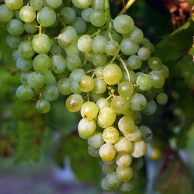 Виноград плодовый Вера