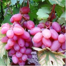 Виноград плодовый Виктор