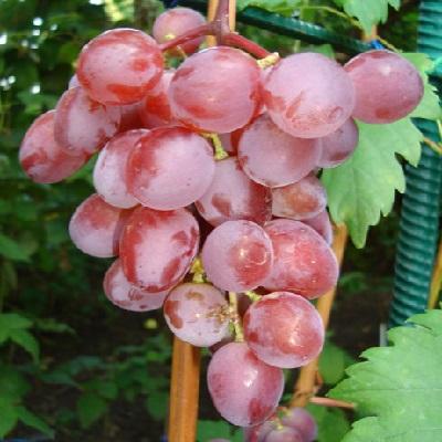 Виноград плодовый Виктория