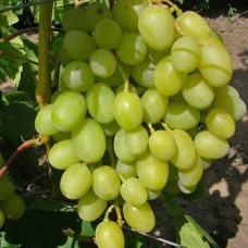 Виноград плодовый Аркадия (Настя)