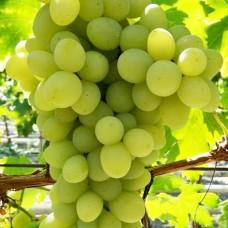 Виноград плодовый Благовест