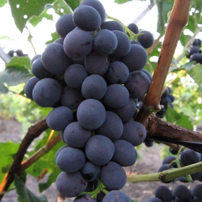 Виноград плодовый Цимлянский черный
