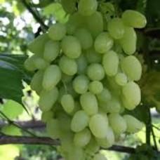 Виноград плодовый Кишмиш столетие