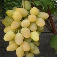 Виноград плодовый Монарх