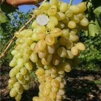 Виноград плодовый Подарок Магарача