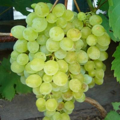 Виноград плодовый Русбол