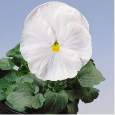 Виола крупноцветковая Белая