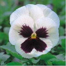 Виола крупноцветковая Белая с пятном