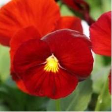Виола крупноцветковая Красная
