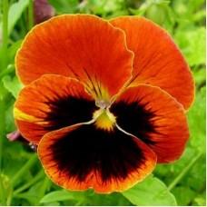 Виола крупноцветковая Красная с пятном