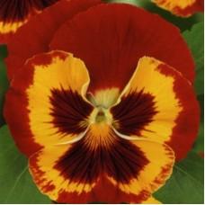 Виола крупноцветковая Красная с желтым