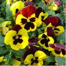 Виола крупноцветковая Желтая с красными крыльями