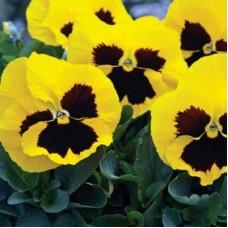 Виола крупноцветковая Желтая с пятном