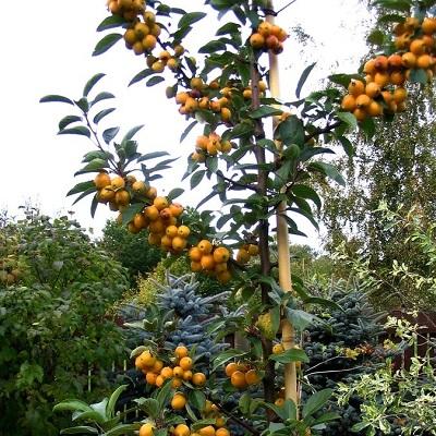 Яблоня декоративная Голден Хорнет