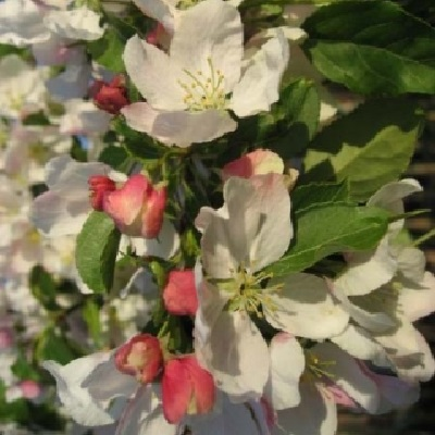Яблоня декоративная Ред Джейд