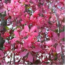 Яблоня декоративная Роял Бьюти