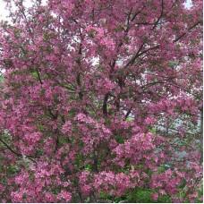 Яблоня колонновидная крастнолистная Манящий аромат