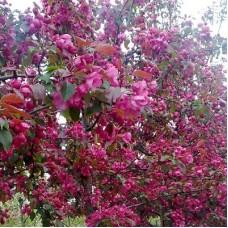 Яблоня колоновидная краснолистная Розовая сказка