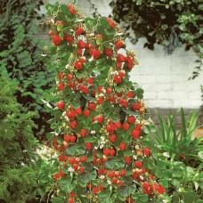 Земляника садовая - вертикальная гряда