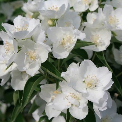 Жасмин садовый Алебастр