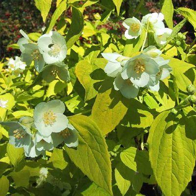 Жасмин садовый Ауреус
