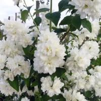 Жасмин садовый Букет Бланк