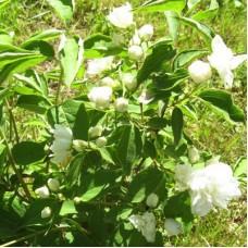 Жасмин садовый Эльбрус