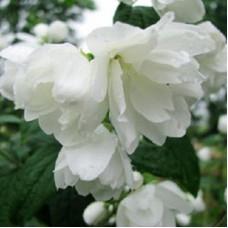 Жасмин садовый Сноубель